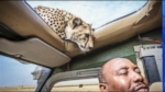 VIDEO: Cheetah Climbs on SUV, Surprises Tourists Through Sunroof