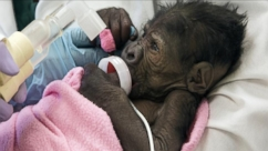 VIDEO: GMA 3/15: Tiny Baby Gorilla Born Through C-Section