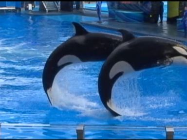 Watch: SeaWorld Orlando Reopens Shamu Show