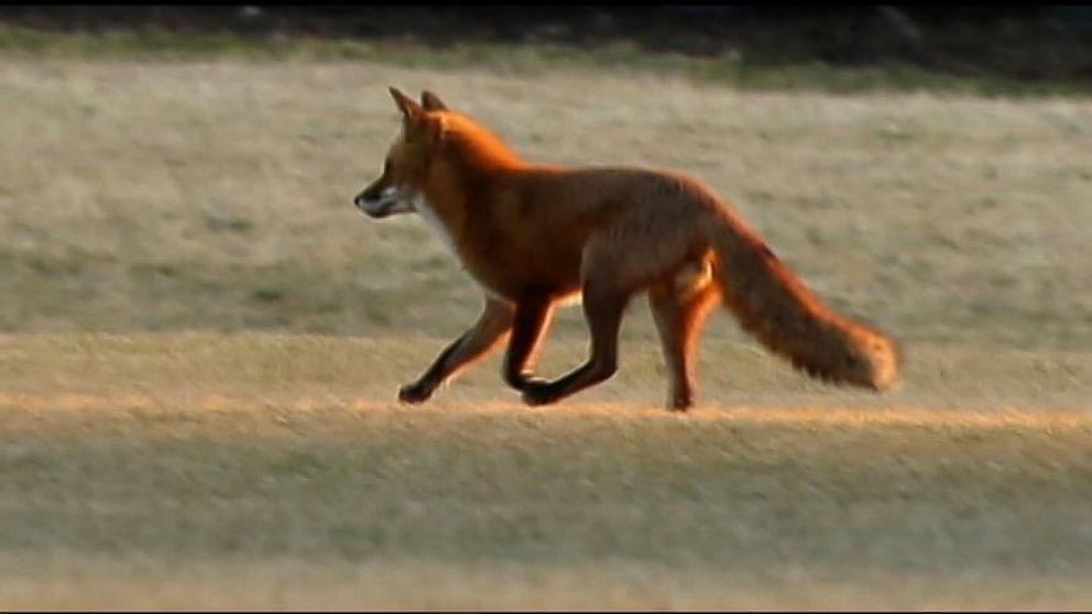 VIDEO: The little red fox first showed up on the White House lawn last Fall.