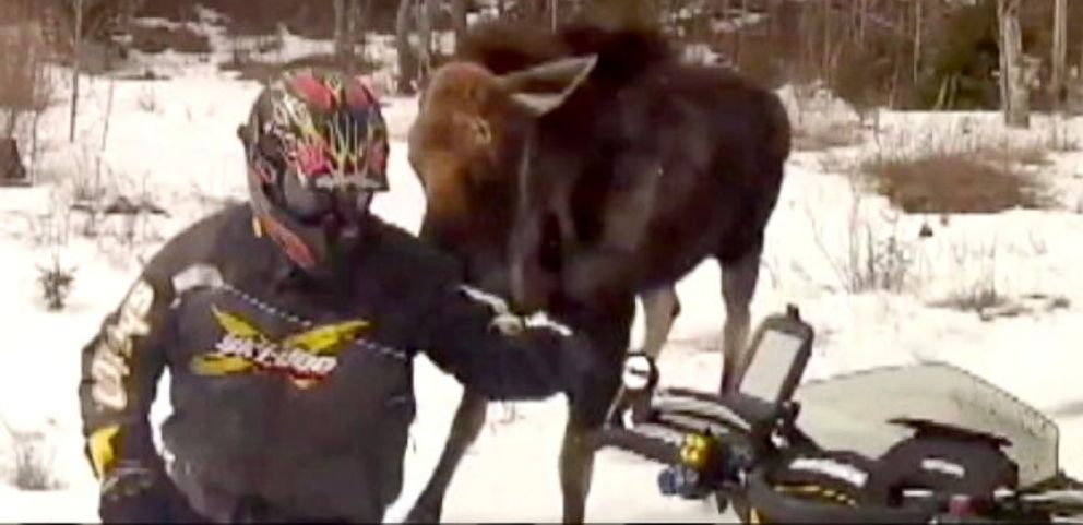 VIDEO: Moose Defends Territory Against Snowmobilers
