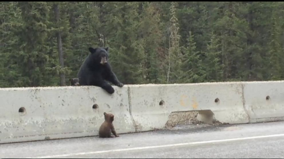 VIDEO: Mama Bear Pulls Cub Off Highway