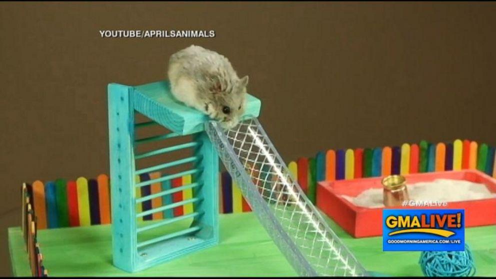 Tiny Hamsters Eating A Tiny Birthday Cake Video ABC News - Hamster birthday cake