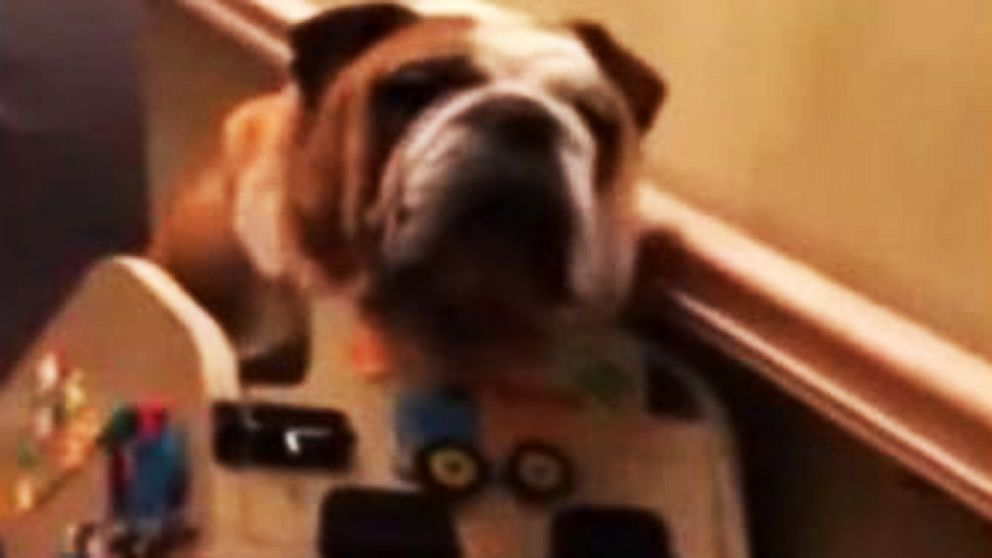 VIDEO: Aging Bulldog Gets Homemade Stair Lift