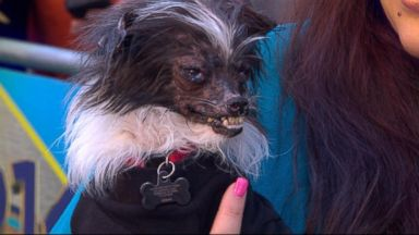 "VIDEO: Owner Holly Chandler joins ""GMA"" to tell Peanuts story from shelter to contest winner."