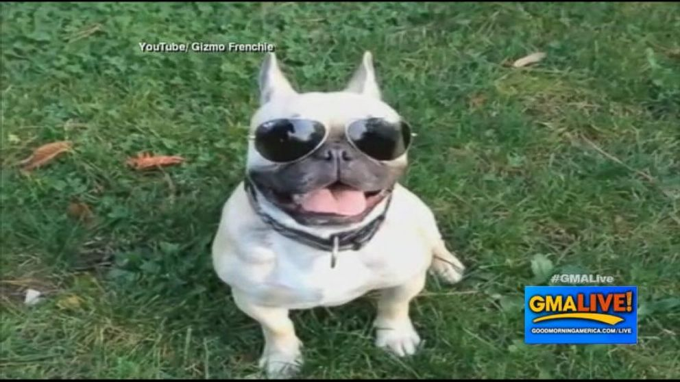 Good Morning America French Bulldog : French bulldog shreds up the skate parks video abc news