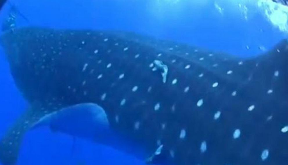 VIDEO: The whale shark came at the diver with his mouth open.