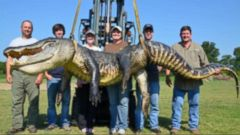 VIDEO: Record-Breaking Alligator Hunting Season