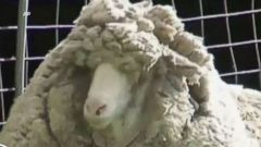 VIDEO: Huge, Fluffy Sheep Found With 40 Pounds of Wool