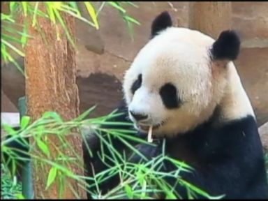 Panda Reportedly Fakes Pregnancy for Pampered Life