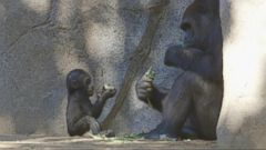 VIDEO: Baby Gorilla Debuts at San Diego Zoo
