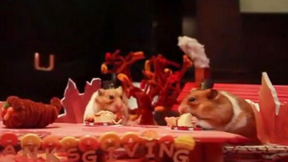 a tiny thanksgiving for a tiny hamster video abc news