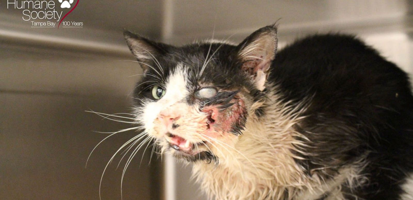VIDEO: Bart, a cat in Tampa, was struck by a car and buried before reappearing in a neighbor's yard.