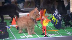 VIDEO: Kittens Go Paw-to-Paw in GMA Kitten Bowl