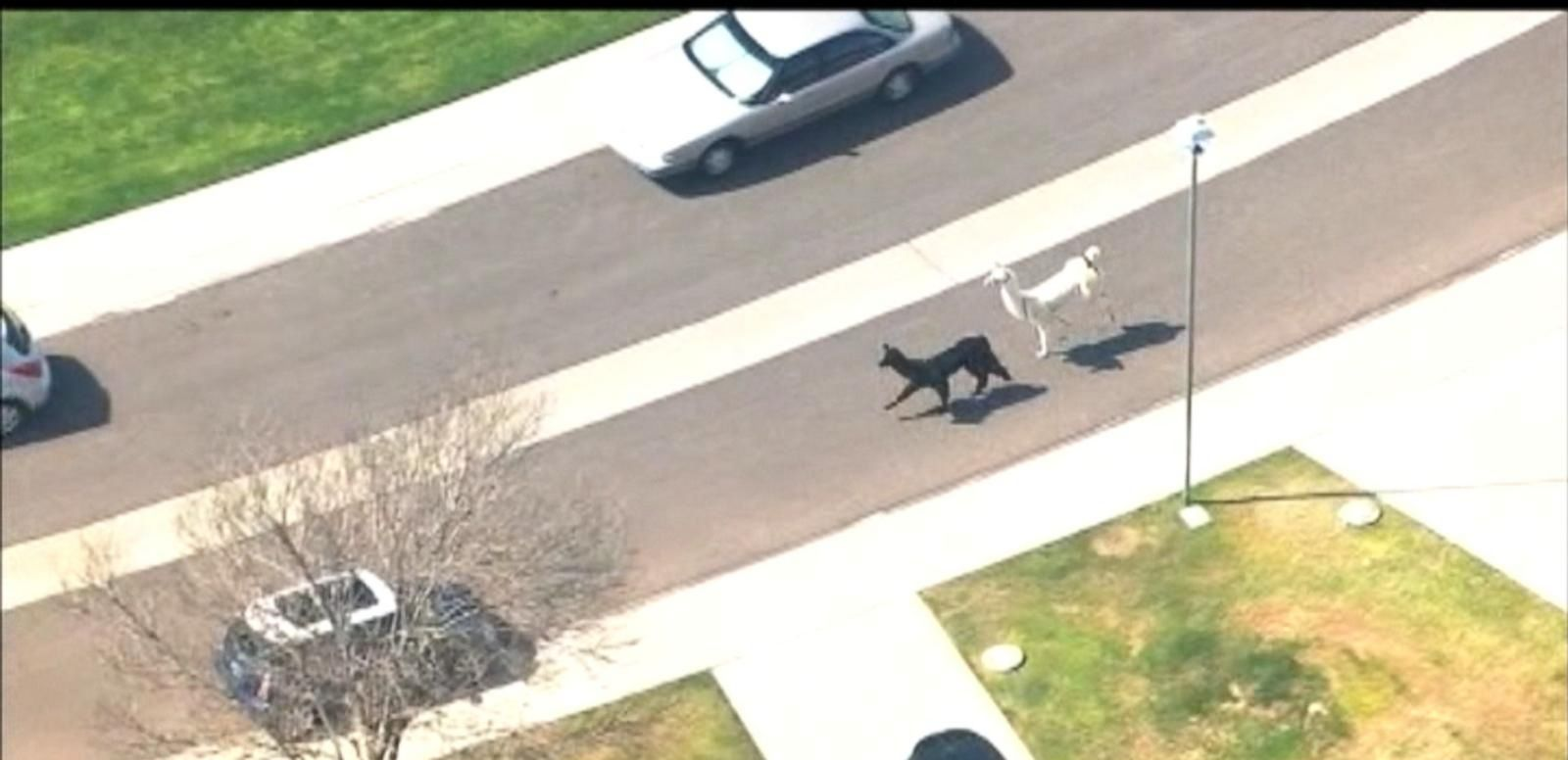 VIDEO: Runaway Llamas Become Social Media Sensation