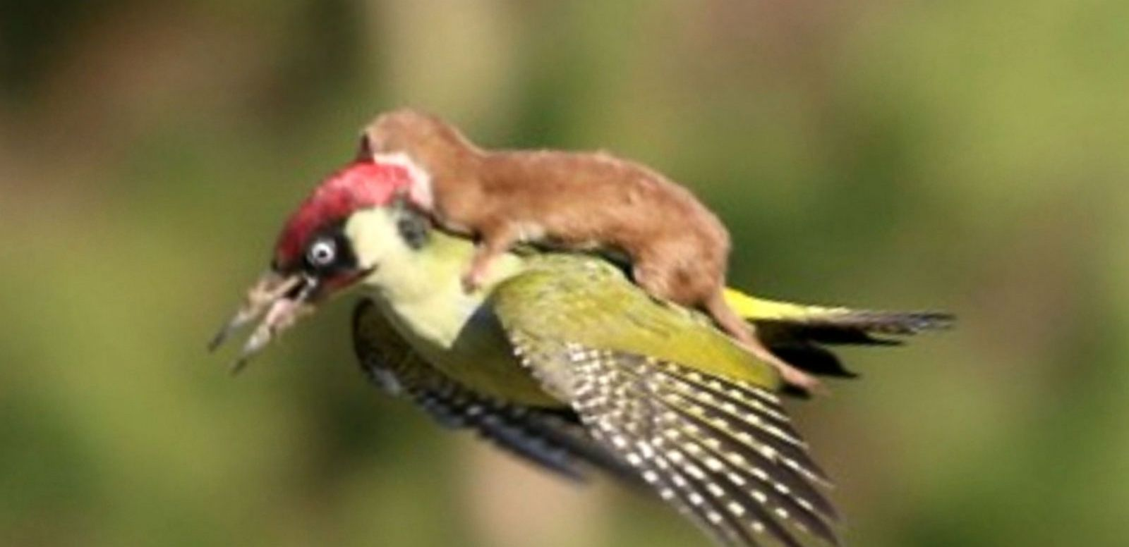 VIDEO: Woodpecker Rides With Weasel on Its Back