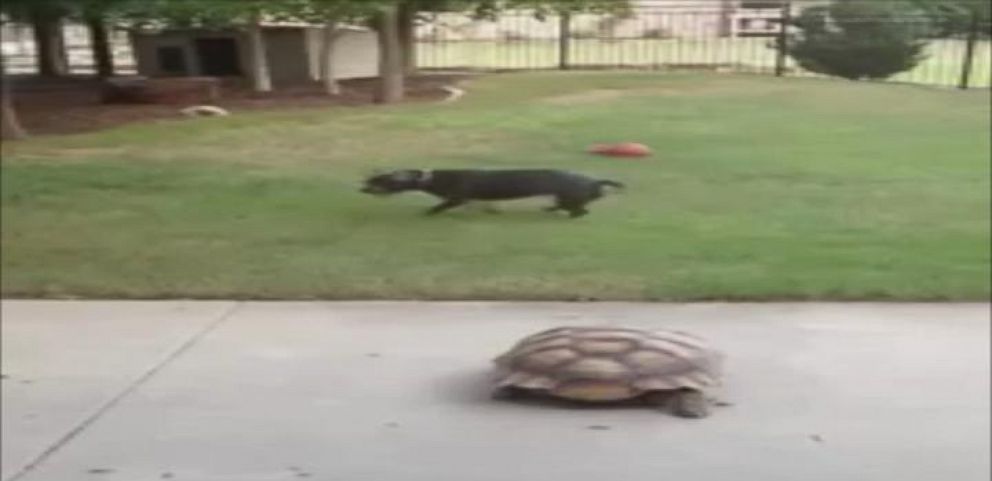 VIDEO: Tortoise and Pit Bull Terrier Play Chase