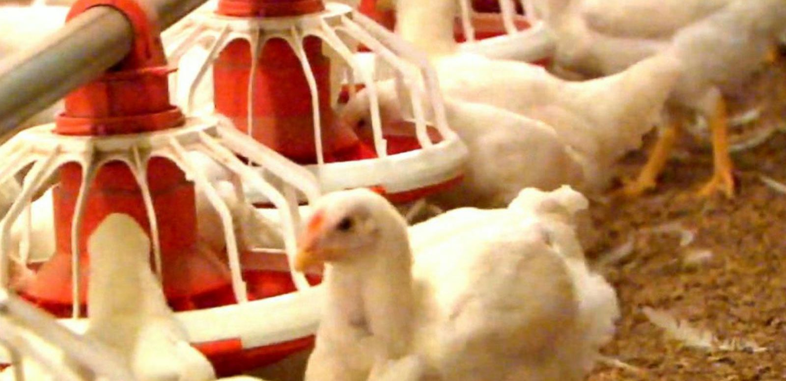 VIDEO: McDonald's Says No to Chicken With Antibiotics