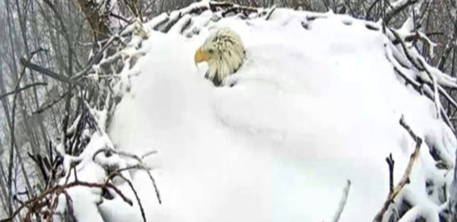 VIDEO: The bald eagles' dedication to parenthood was captured on a webcam in a Pennsylvania state park.