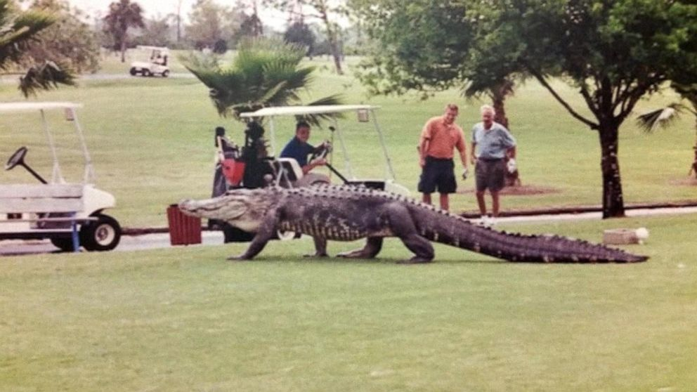 Giant Alligator Spotted On Florida Golf Course Video Abc