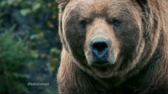 VIDEO: Familys Encounter With Grizzly Bear Changed Life In An Instant