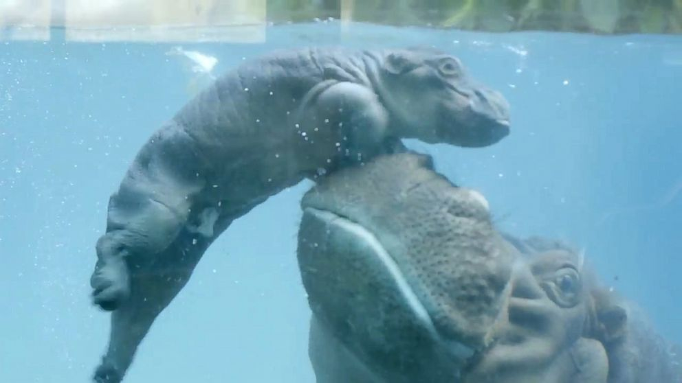 bouncing baby hippo learns to swim with a little boost from mom abc news