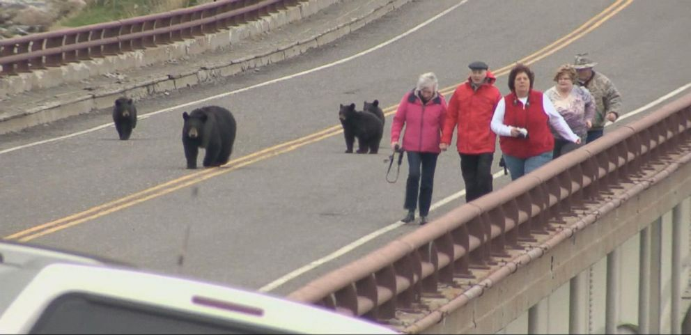 VIDEO: Family of Bears Faces Tourists in Yellowstone National Park