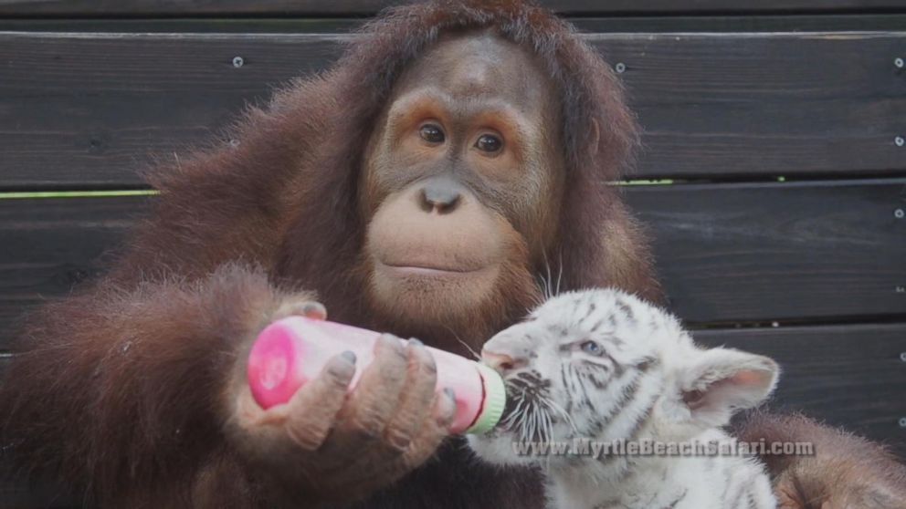 Suryia the Orangutan B...