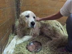 VIDEO: The giant Pyrenees, renamed Emma, was adopted after her former owners David and Brenda Tapleys died in the tornado that ripped through Van, Texas, two weeks ago.