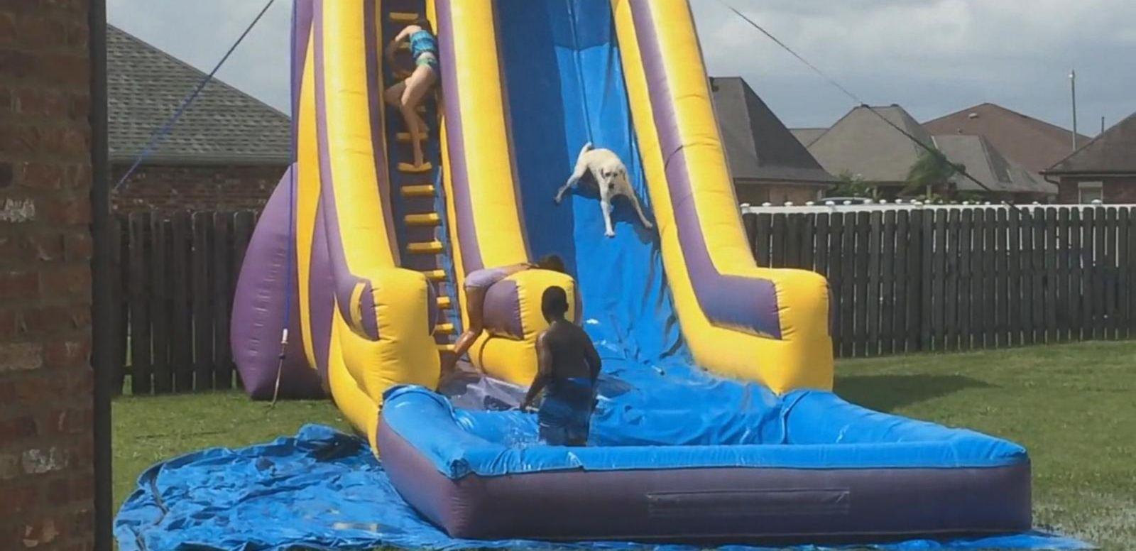 yellow lab races down giant backyard water slide abc news