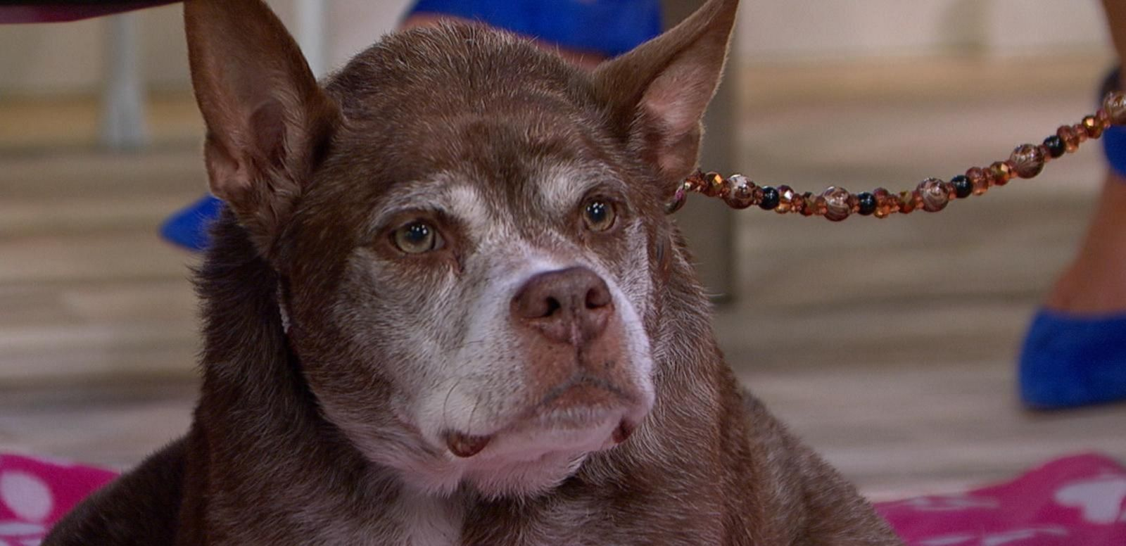 VIDEO: Meet the World's Ugliest Dog Winner, Quasi Modo, Live on 'GMA'