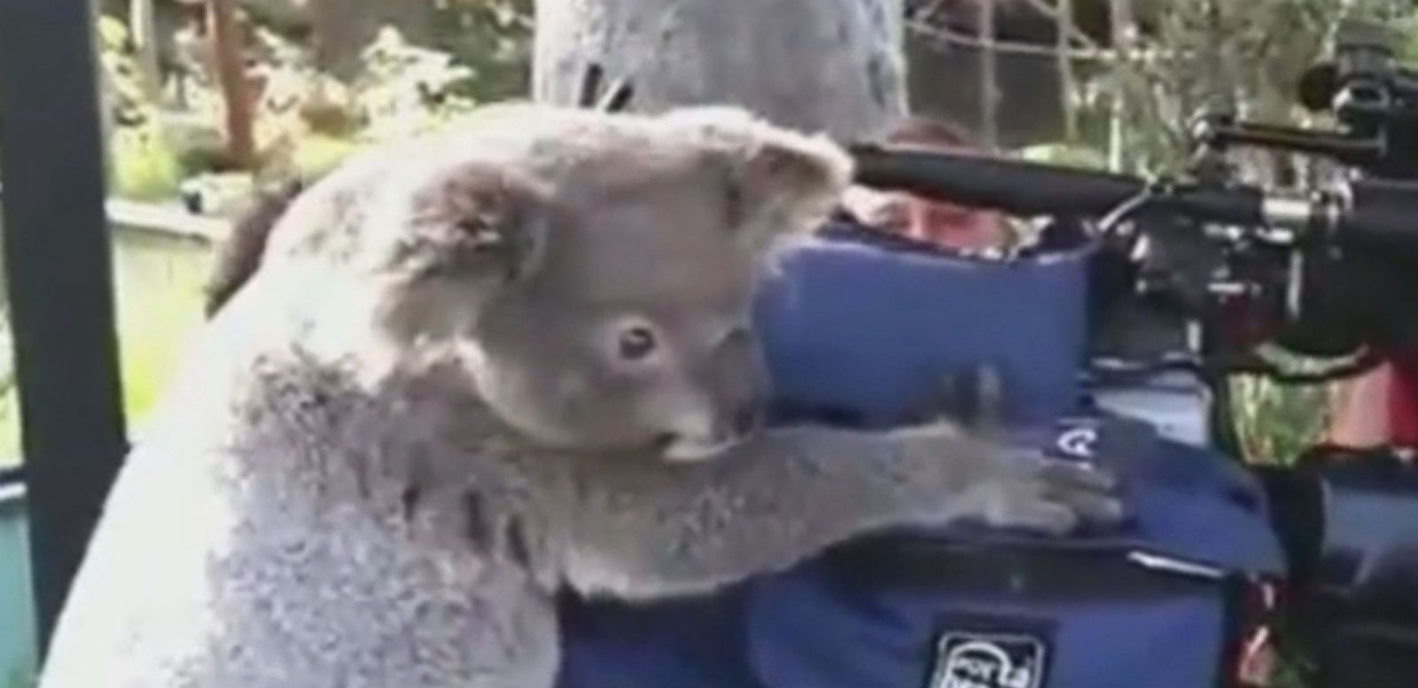 VIDEO: Koala Joins News Crew