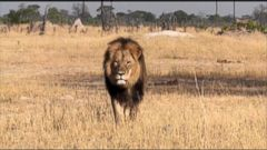 VIDEO: Minnesota Dentist Did Not Know Slain Lion Was Cecil