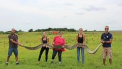 VIDEO: The 133-pound snake was found by a researcher who regularly works in the national park.