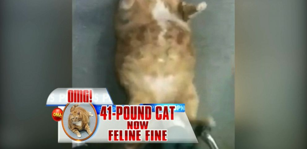 VIDEO: Skinny the Formerly 41-Pound Cat Reveals New Slender Size on 'GMA'