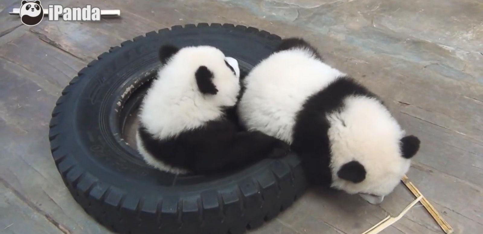 VIDEO: Triplet Panda-Monium