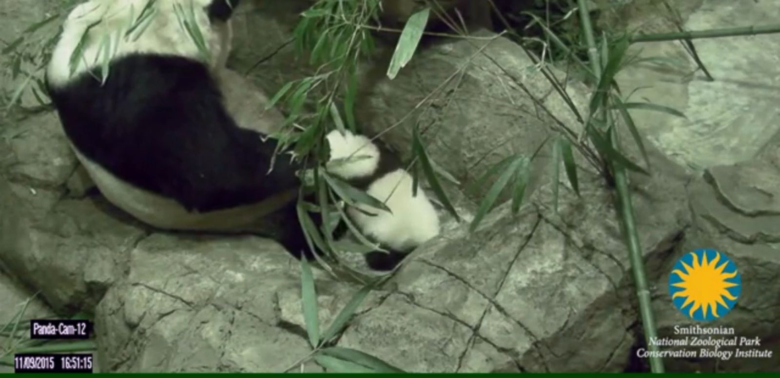 VIDEO: Mother Mei Xiang looked on as her 3-month-old son took his first steps at the Smithsonian National Zoo.