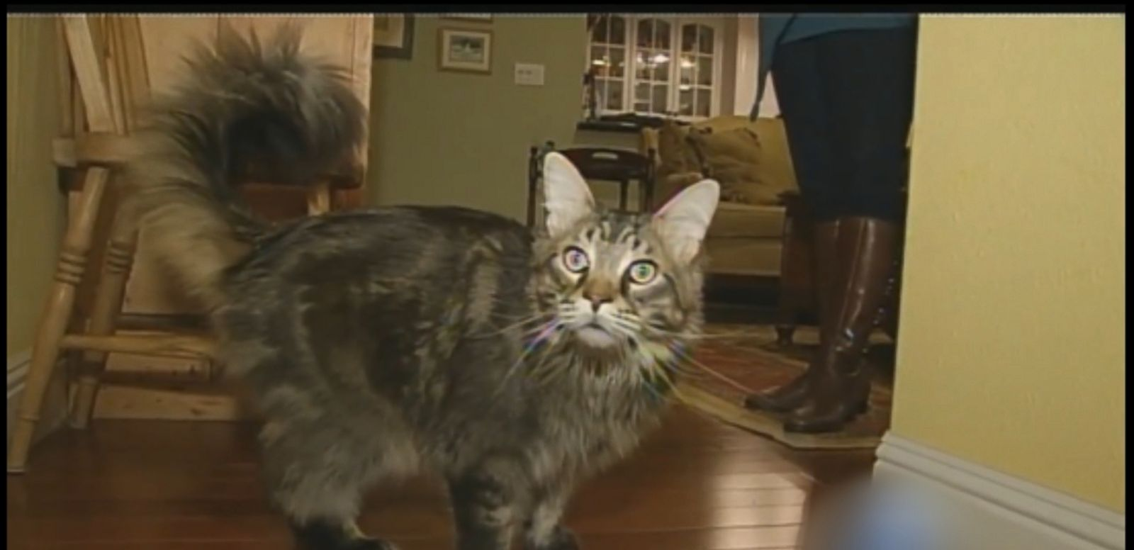 VIDEO: Animal control has been called several times on Spock the cat, who is 27 pounds and nearly four feet long.