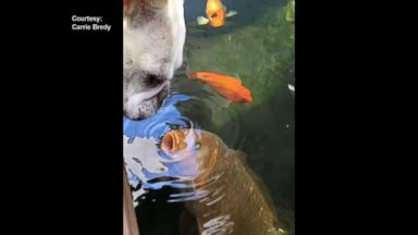 VIDEO: A French Bulldog and Fish Love to Kiss