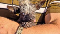 VIDEO: GMA 06/25/16: Worlds Ugliest Dog Declared in 2016 Competition