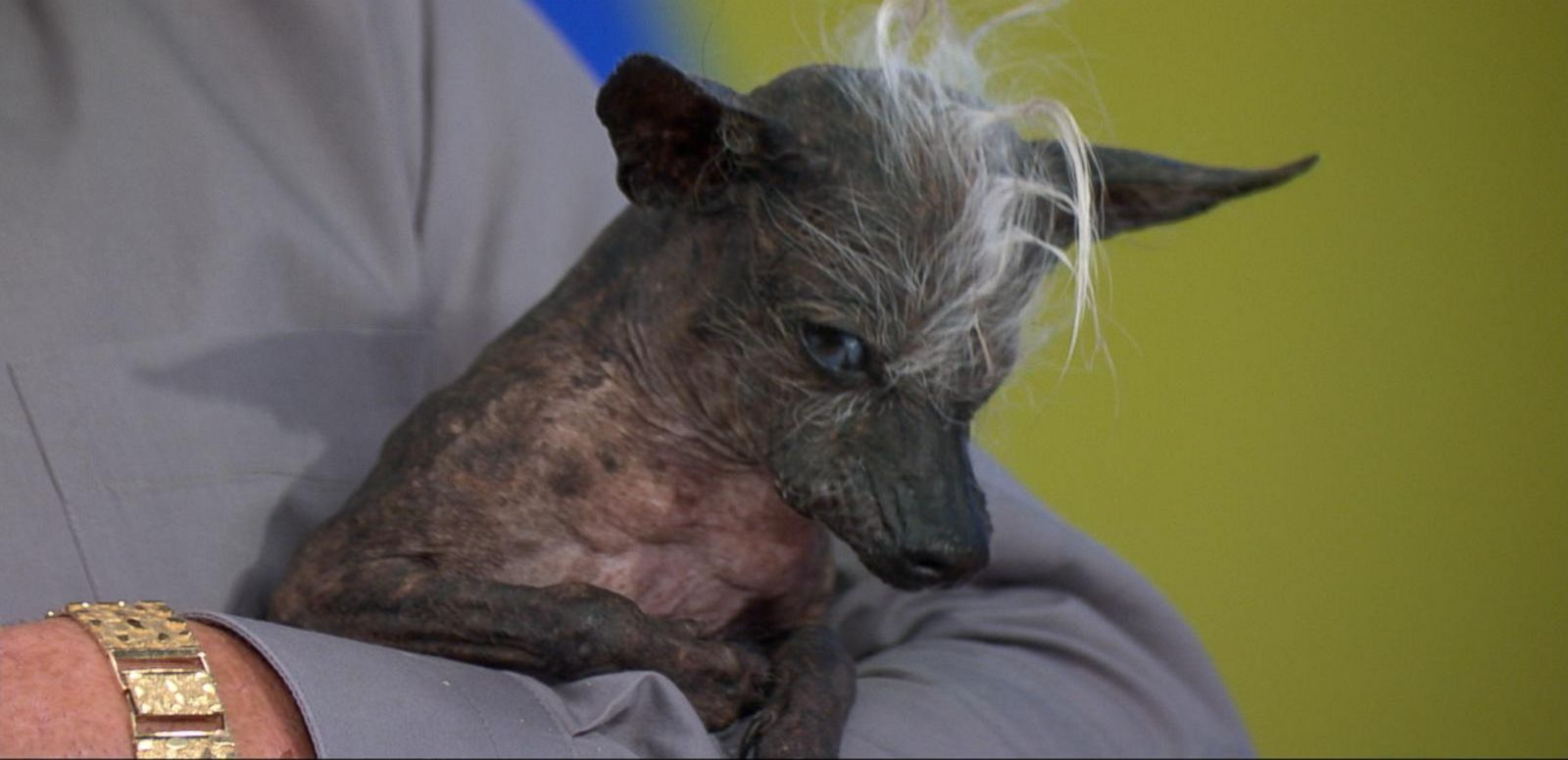 VIDEO: Meet the 2016 'World's Ugliest Dog'