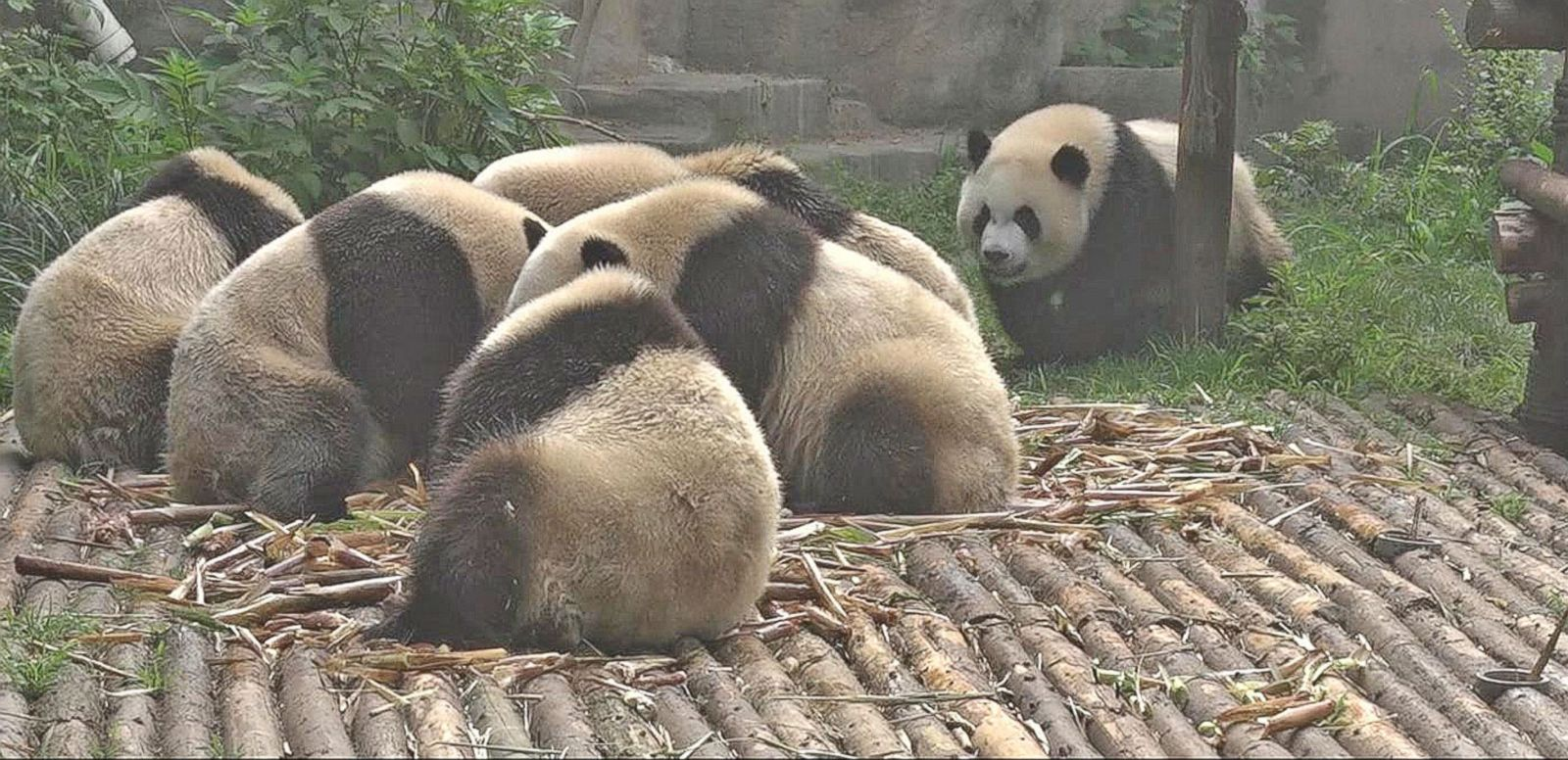 VIDEO: 'GMA' Travel Diary: Robin Roberts Visits China's Pandas