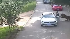 VIDEO: A tiger dragged a woman from her car at a wildlife park in China.
