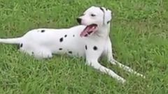 VIDEO: Lost Dalmatian Puppy Makes Himself at Home at Fire Station