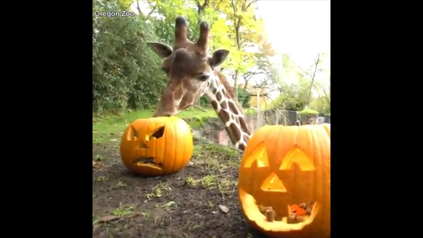 VIDEO: Animals at the Oregon Zoo Play With and Devour Pumpkins