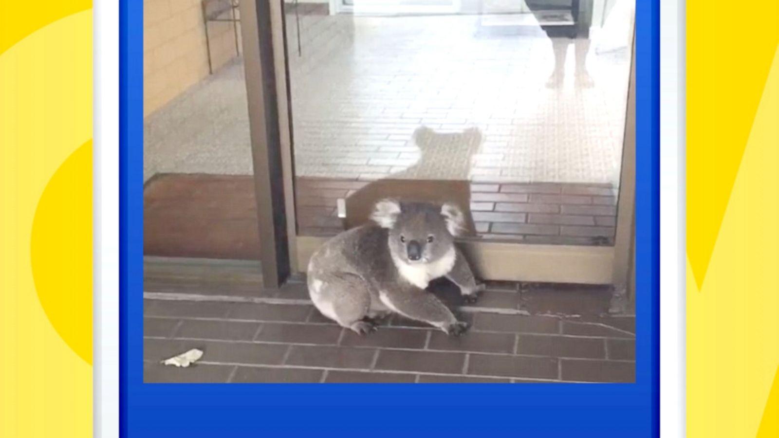 Koala wanders into accounting office in Australia