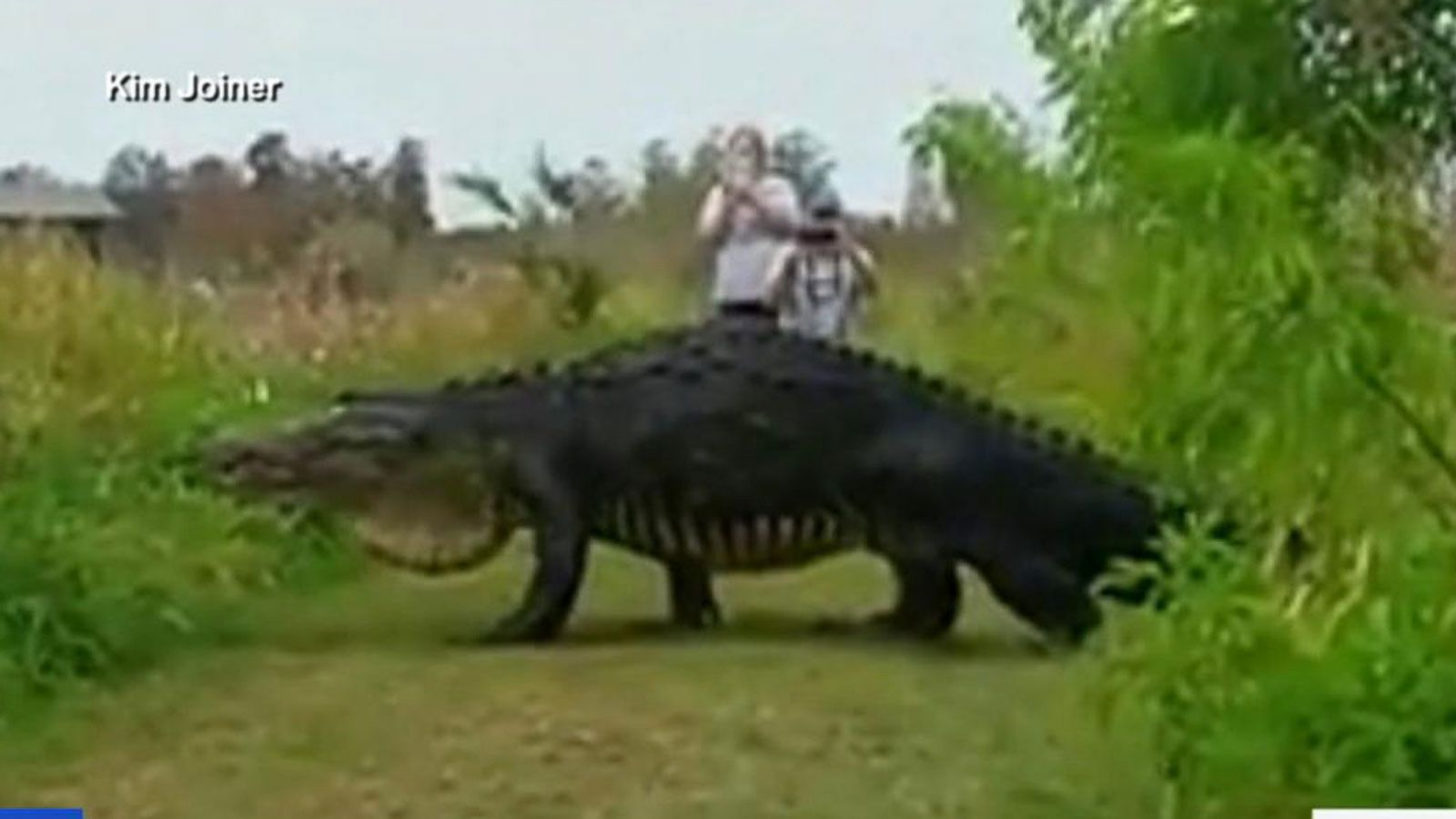 VIDEO: Massive Alligator Spotted at Nature Preserve