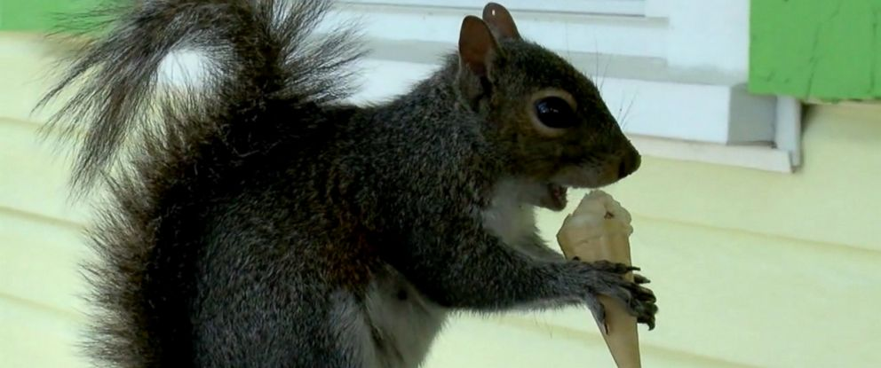 VIDEO: Putter the squirrel visits Fantasy Isle Ice Cream and Mini Golf in Holden Beach twice a day for mini vanilla ice cream cone.