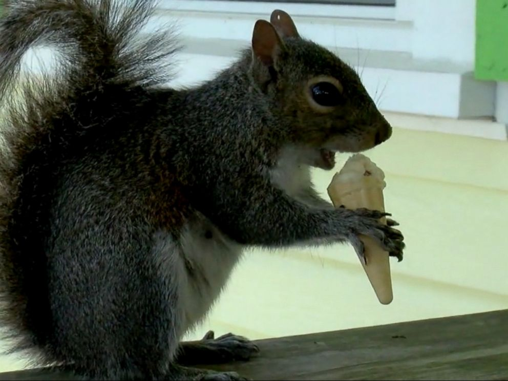 Squirrel served a mini ice cream cone every day in North Carolina