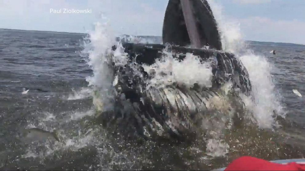 VIDEO: Whale surprises boaters off the coast of New Jersey